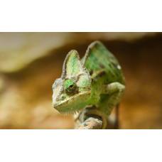 Єменський Хамелеон (Chamaeleo calyptratus) дорослі, самки