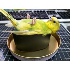 Хвиляста папуга, самці