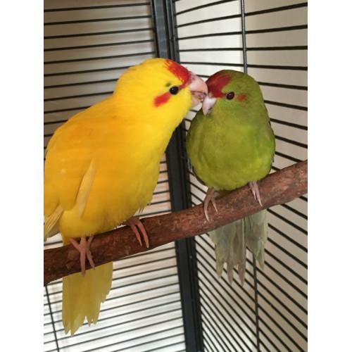 Какарік або жовтий стрибучий папуга