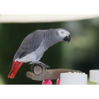Папуга жако, сірий африканський папуга