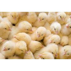 Заморожені кормові добові курчата, 1 кг
