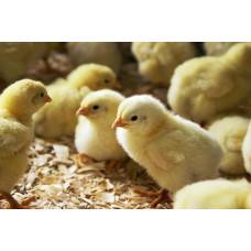 Кормові добові курчата з відправкою по Україні, 8 кг + термобокс