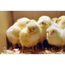 Корм добових курчат з відправкою по Україні, 4 кг + термобокс
