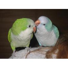 Папуга монах (калита або квакер) блакитний