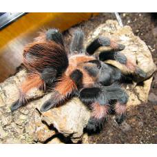 Павук птахаїд  Брахіпельма Емілія, самка 6 см