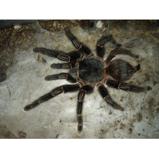 Павук птахоїд Ласіодора Парахібана (лат. Lasiodora parahybana)