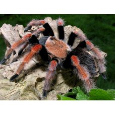 Павук птахоїд Брахіпельма Боемі, самець 3 см