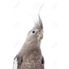 Безщока корела (німфа)