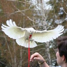 Шлейка для вигулу папуги, шлейки Авіатор для вигулу папуг розмір L, є різні розміри